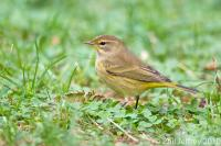 Palm Warbler immature