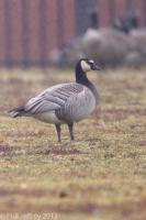 Barnacle Goose x Canada Goose hybrid