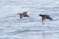 Black Scoters in light